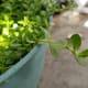 papait-plant