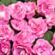 Rockapulco® rose Double Impatiens