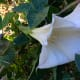 Early evening walkers will love walking paths and sidewalks near these big white Datura blooms.