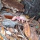 what-to-do-if-youve-found-a-baby-possum-photos-and-tips