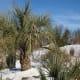A snowy Sabal Palmetto in North Carolina.