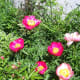 Mix of Peonies Our Wild Country Garden!