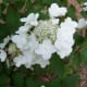 Hydrangea Our Wild Country Garden!