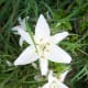 Tiger Lily Our Wild Country Garden!