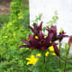 Tiger Lilies Our Wild Country Garden!
