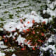 Our begonias covered with snow