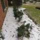 Just replaced these shrubs last year.  Here they are nicely encased in a blanket of sleet.
