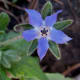 Borage is believed to strengthen heart and limbs