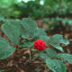 Ginseng improve the efficiency with which  your body processes oxygen and increases energy and stamina.