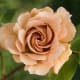 Brown Rose - Light Color