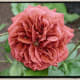 Brown Rose - Brown Velvet