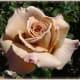 Brown Rose - Ice Tea