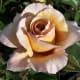 Brown Rose - Light Buff Brown