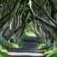 Dark Hedges, Ballymoney, County Antrim
