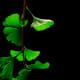Ginkgo biloba leaves in summer