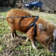 Micro mini pig with a fitted harness on a leash outside grazing.