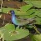 American Purple Gallinule in water at Everglades National Park