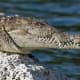 American Crocodile at Biscayne National Park, Florida, USA