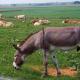 Animals grazing near Buffalo Bill Cody's boyhood home