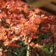Autumn in the Tamozawa garden.