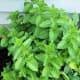 The spearmint did quite well in this planter, but the joi choi didn't do well, and the oregano didn't even sprout.