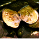Monster oysters are large mollusks used to produce 20–30 pearls at once.