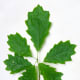 Northern Red Oak Leaves from Young Sapling