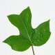 Yellow Tulip Poplar Leaf
