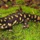 A Floridian tiger salamander (Ambystoma tigrinum)