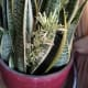 Flowering snake plant images with details