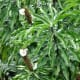 Costus speciosus (Crape ginger, crepe ginger, malay ginger, spiral flag)