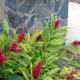Alpinia purpurata (Red ginger, pink ginger)