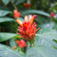 A flowering Costus curvibracteatus at the Conservatory of Flowers