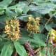 Hedychium gardnerianum (Kahili ginger)
