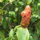 Costus scaber - Widespread in the Neotropics, with an all-red flowering head. Photo from Ecuador.