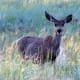 Mule Deer in Bryce Canyon National Park
