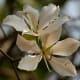 The white flowered variety of kachnar