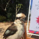This beautiful Kookaburra stayed with me for quite some time as I painted The Calyx. People were taking photos of us.