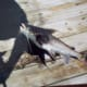 Grunting Catfish (Photo of a Photo)