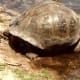 Galápagos tortoise