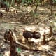 """A turkey uses its legs to kick up twigs, leaves, etc. to create a huge pile which helps keep their eggs warm.  """"Nature's natural composter"""""""