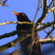 Blackbird sings for his supper