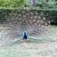 Peacock in Jardim do Palacio de Cristal.