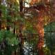 Cypress tree needles and knees in Cincinnati at the Spring Grove Cemetery and Arboretum in Geyser Lake