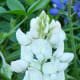 Natural white bluebonnet