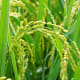 Oryza sativa, the plant where the grain of rice comes from.