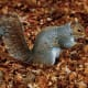Eastern Gray Squirrel in Beacon Hill Park