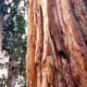 The thick bark of sequoia trees