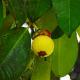 Raw mangosteen fruit