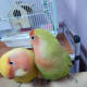 lovebird-leg-pain-a-personal-experience